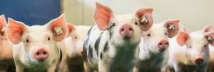 Schweinefutter