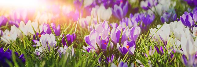 Frhlingserwachen - lila blhende Krokusse in der Morgensonne, Ban